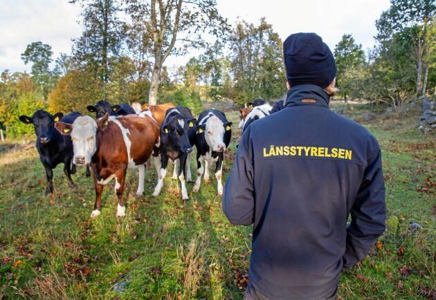 Betesmark. På gården betar både köttdjur och islandshästar.