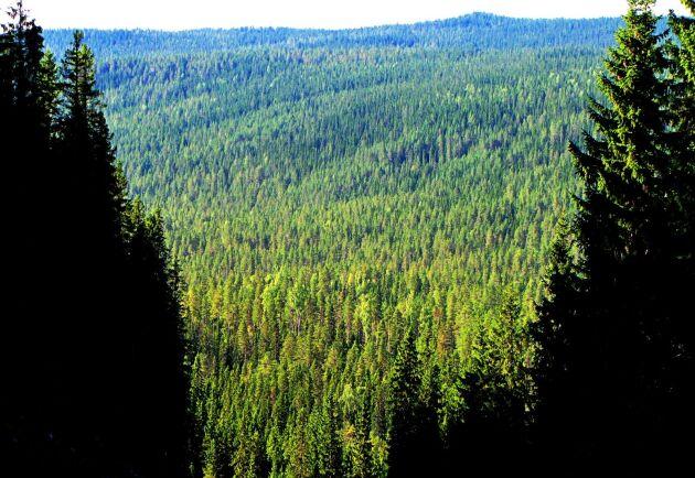 Trots att granen växer nästan dubbelt så fort kan det ändå bli bra sågtimmer av träden.Arkivbild.