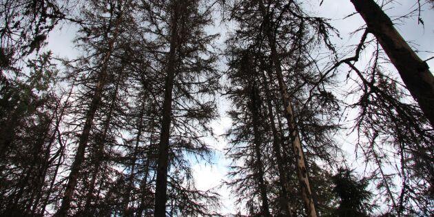 Ovanligt många granbarkborrar kvar i träden