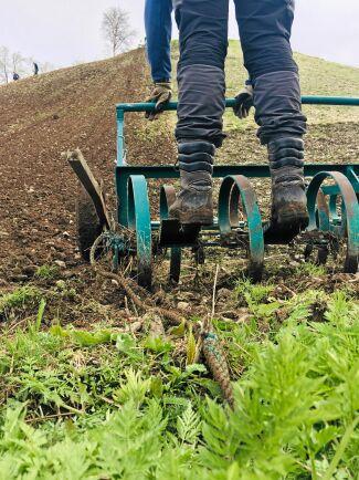 Harven dras upp för backen av en traktordriven vinsch, och styrs för hand.