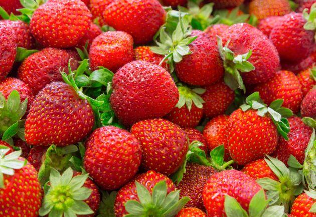 De tunnelodlade jordgubbarna har nu skördats i några veckor.