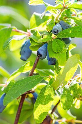 Blåbärstryn mognar tidigast av alla.