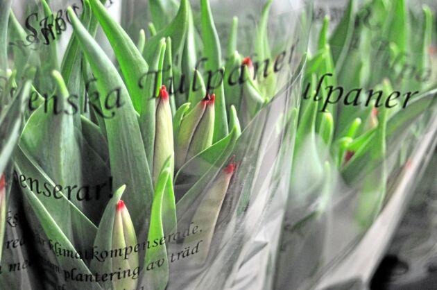 Svenskar köper mest tulpaner per person i hela världen, enligt LRF Trädgård.