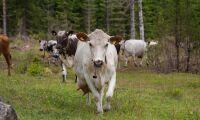 Mjölkkris hotar fjällkon