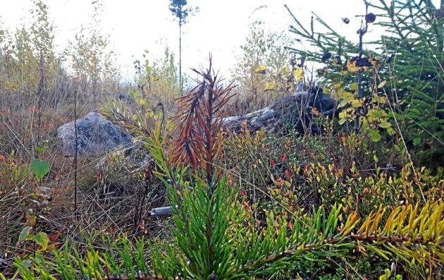 Planta sannolikt drabbad av Diplodia pinea.