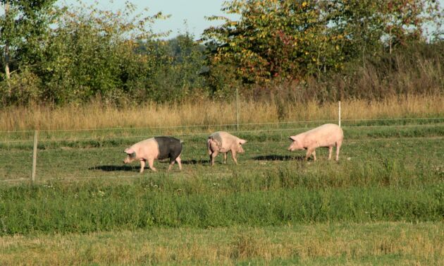 Grisnäringen skulle drabbas hårt om afrikansk svinpest kom in i Sverige.