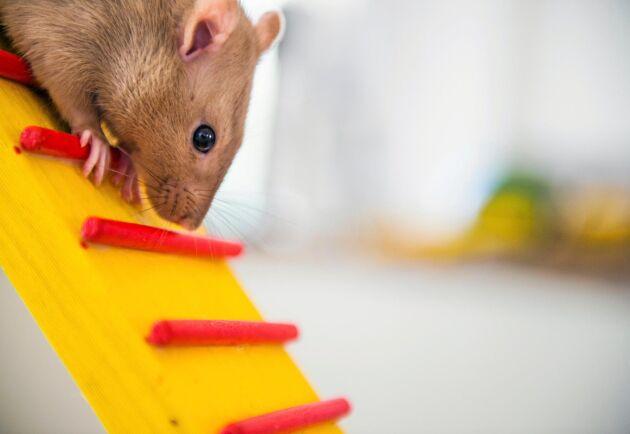 SLU vill se ett nytt djurförsökscenter för att optimera försöken, menar de. Arkivbild.