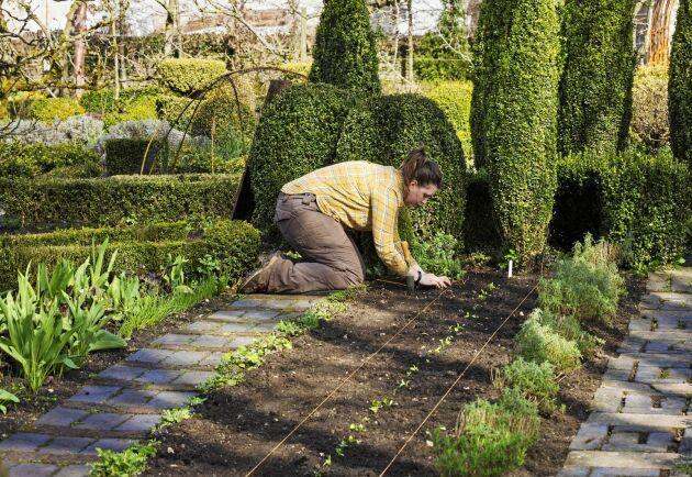 Varmt i jorden – äntligen kan förkultiverade plantor sättas ut i grönsakslandet.