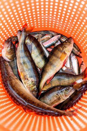 Nyfångad fisk säljs allt mer direkt vid fiskeläget, men fortfarande är torghandeln i Gävle viktig.