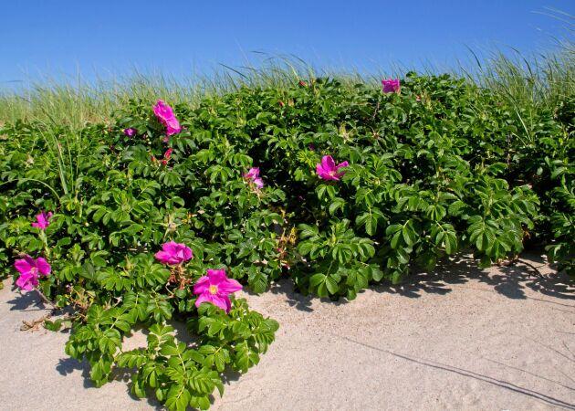 Den rena arten Rosa rugosa kan invadera stränder.