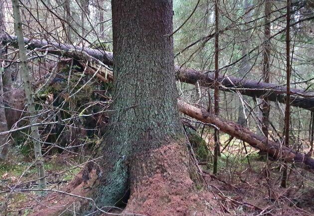 Mölnbackagranen som just nu har rekordet som Sveriges högsta gran mäter 49,9 meter hög och står i de Värmländska skogarna.