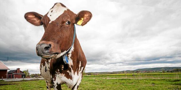 Fler mjölkkor i Sverige - trendbrott på gång
