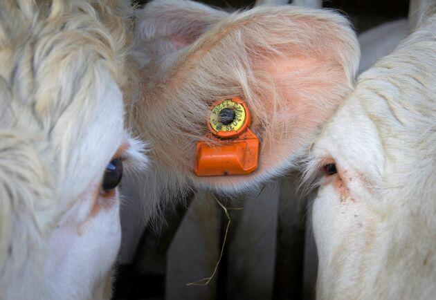 Brunstpiercing. Sensorerna fästs enkelt i kornas öron.