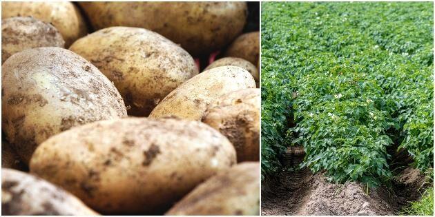 Kraftig minskning av svensk potatisodling