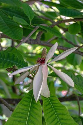 Hjärtmagnolians blommor sticker ut.