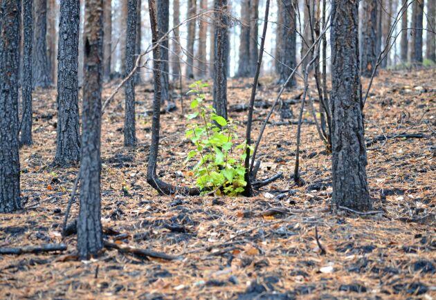Under sommaren 2018 drabbades Sverige av 300 skogsbränder större än 0,5 hektar, och totalt påverkades 21 000 hektar.
