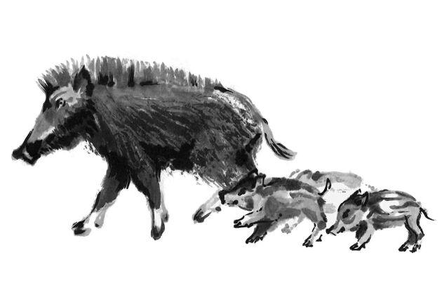 Vildsvin är svåra att jaga, de är intelligenta och farliga djur.
