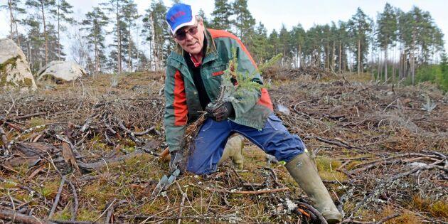 Vildsvin förstörde hundratals skogsplantor