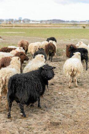 Lantrasen Ryafår är både bra som kött- och ullfår och lätta att hålla, men är ändå ovanlig i Sverige. Bara 600- 700 djur finns kvar.