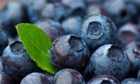 Årets blåbär når rekordnivåer