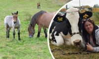 Farliga växter och kvigan som inte får bo med hästar