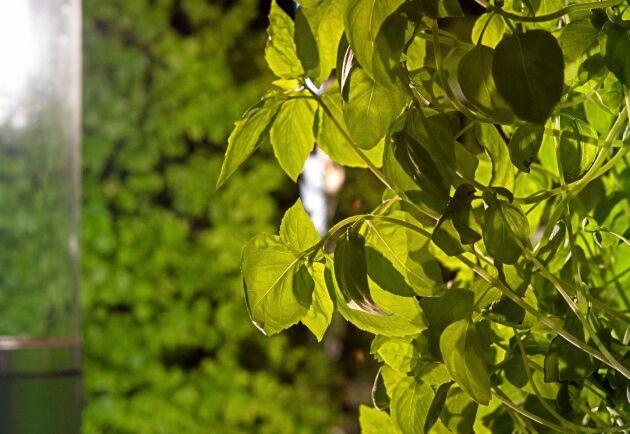 Både thai- och Genovese-basilika frodas i odlingstornen.