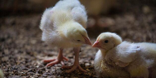 Kycklingnäringen prioriterar djurvälfärd och hälsa