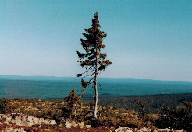 I över 9000 år tros Old Tjikko ha kämpat mot klimatet på Fulufjällets topp. Granen ska ha levt vidare genom att klona sig själv då nedhängande grenar gett upphov till nya, genetiskt identiska plantor.
