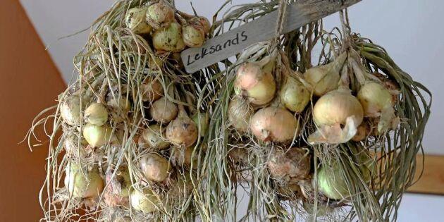 Potatislök – en nygammal favorit på återväxt