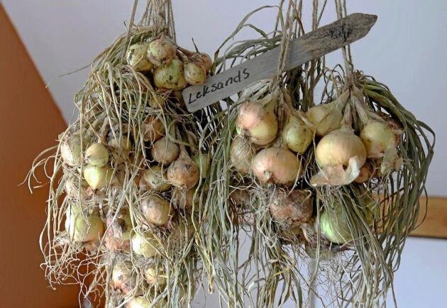 Potatislökar hänger på tork i väntan på utplantering.