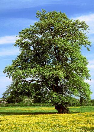 STÅTLIG. Eken växer långsamt men bli både gammal, ståtlig och stor. Rejäl tomt och många arvtagare rekommenderas. Foto: IBL
