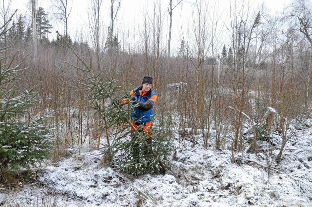 På grannens mark har vildsvinen bökat runt i en plantering som gjordes för sex år sedan. Flera granar har välts och rötterna skadats.