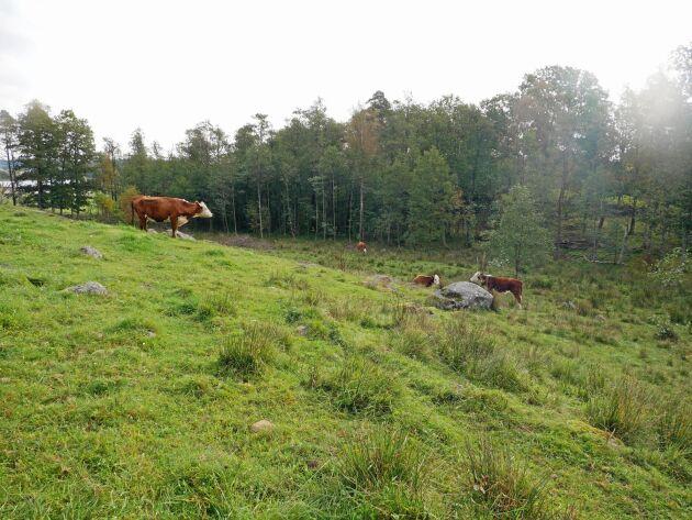 På gården har han 35 kor med ungdjur som går på naturbete.