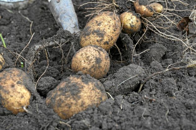 När blasten vissnat ner är rätt tid att gräva potatis.