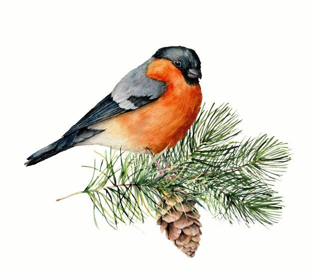 Ingen fågel har väl målats så mycket och prytt så många julkort som domherren!