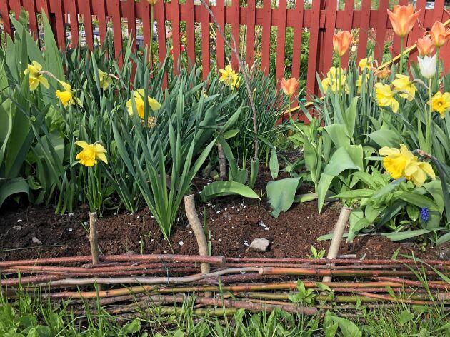Böjliga slanor flätade kring störar i marken blir snygga rabattstaket.