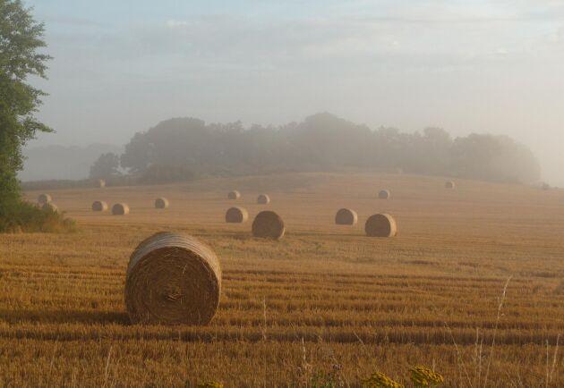Höstens regn har gjort att många lantbrukare inte hunnit bärga halmen.