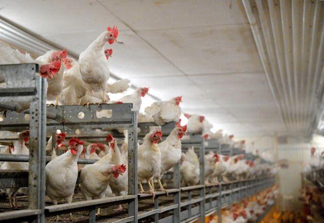 Antalet hönsplatser har ökat så pass mycket i Sverige att det nu råder överproduktion på ägg.