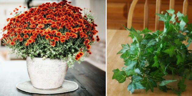Så får du krukväxterna att hålla sig fina längre