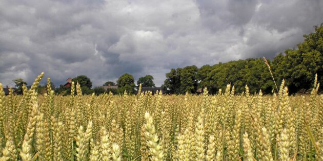 Klimatförändringarna slår mot vetet