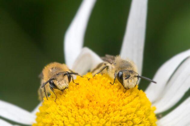 Två väggsidenbin kalasar på baldersbråns pollen.