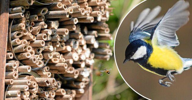 Småfåglar gillar att plocka bin ur hotellets håligheter.