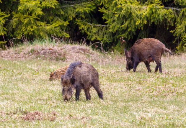 Både lokala föreningen Rödsle BK och jordbrukare i Oskarshamnsområdet har drabbats av vildsvinens framfart. Nu sätter kommunen in motåtgärder.
