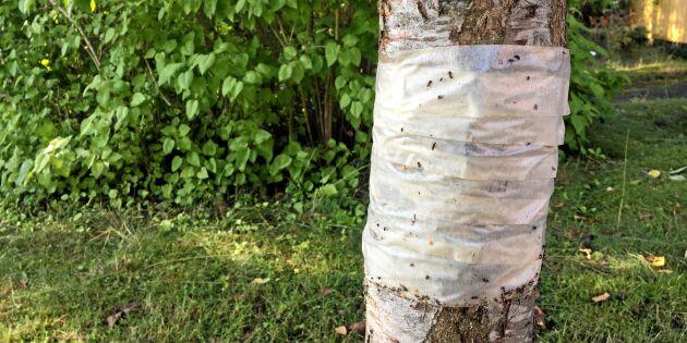 Rädda plommonen från myror – geniala knepet