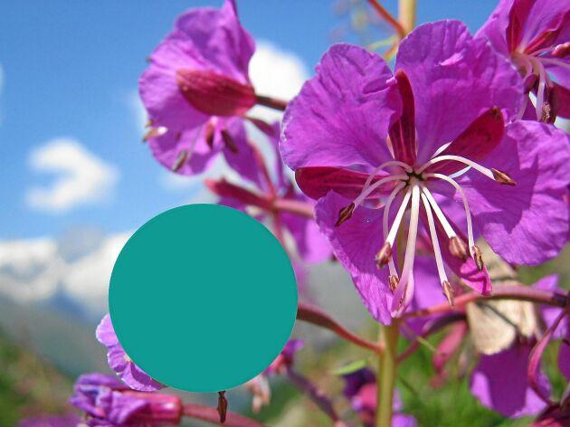 Mjölkörtens pollen är varken vitt eller rosa som man skulle kunna tro. Det är blågrönt.