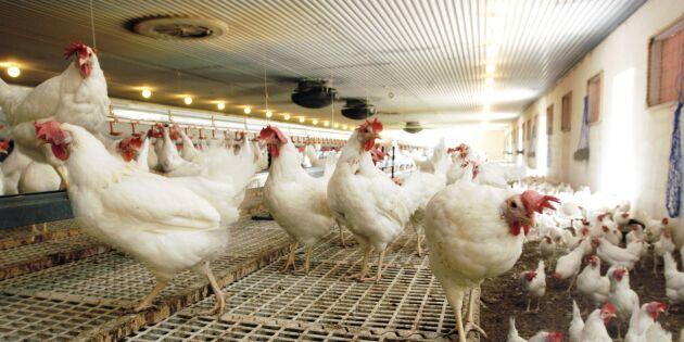 Fågelinfluensa: Alla höns måste avlivas