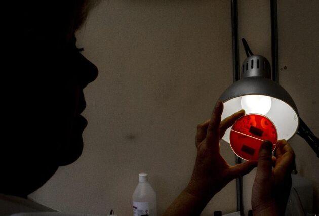 Granskning. Maria Nilsson-Öst granskar med vant öga en odling av Stafylococcus aureus.