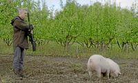 Balanserad bild av grislivet i Schyfferts kött-tv