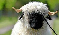 Sällsynt rara lamm säljs för saftig peng