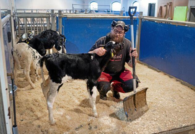 På bara tre månader har över fyrtio kalvar fötts på gården vilket är ett resultat av att i huvudsak kvigor köptes in vid nystarten.